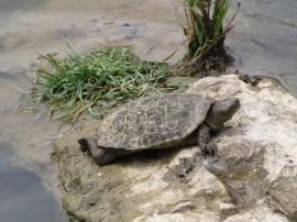 La tortuga leprosa ha sido avistada este año por primera vez en las graveras de Tolosa.